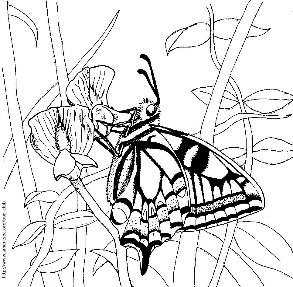 swallowtail butterfly coloring book pages - photo#20