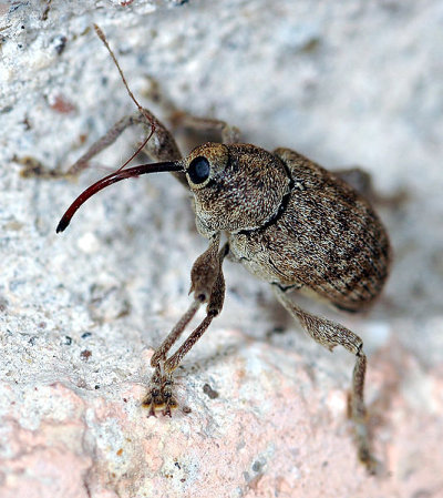 A photograph of an adult Acorn weevil illustrating the curved snout possessed by many weevils