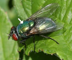 A photograph of the blowfly, _Lucilia sericata_ showing the acrostichal bristles.