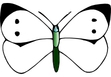 Illustration of an adult female butterfly