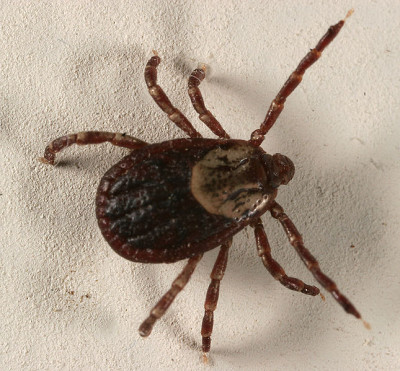 A photograph of an adult female dog tick, _Dermacentor variabilis_.