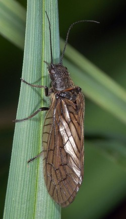 A photograph of an adult Alderfly (Family Sialidae)