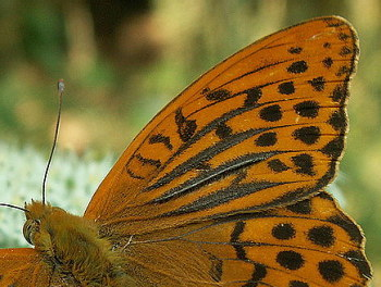 A photograph of androconia on the fore wing of a Silver-washed Fritillary.