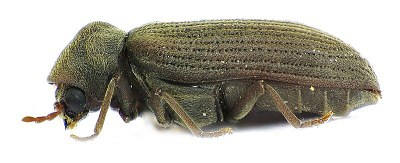 A photograph of the woodworm beetle (_Anobium punctatum_).