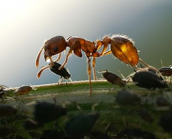 A photograph of an ant collecting honeydew from aphids.