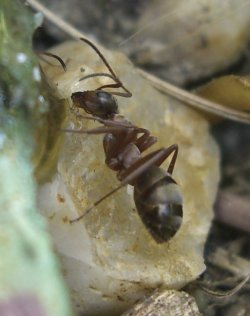 A photograph of the ant (_Formica sanguina_).