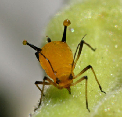 A photograph of an aphid with a defensive secretion exuding from its cornicles.