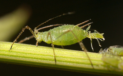 A photograph of an aphid giving birth to live young.