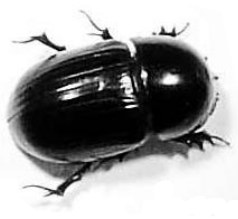 The Dung Beetles (Coleoptera: Scarabaeidae and Hydrophilidae