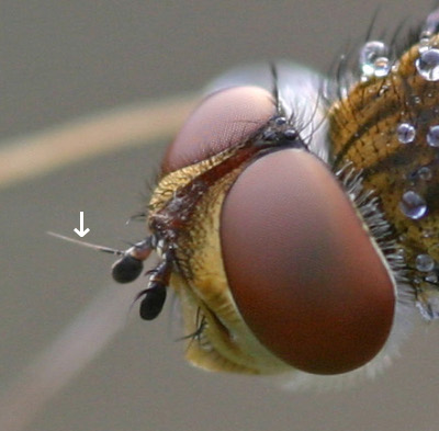 A close-up photograph of the head of a fly showing the arista attached to the antennae.