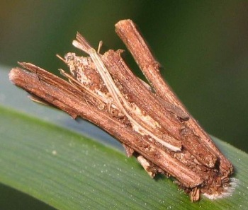 A photograph of a bagworm case made of twigs.