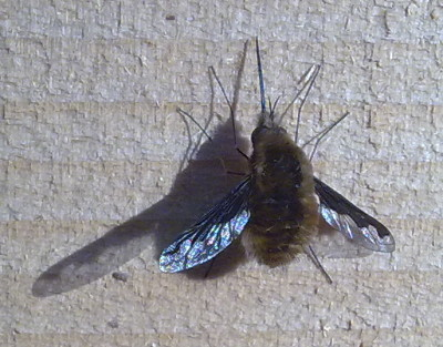 A photograph of the bee-fly (_Bombylius major_)