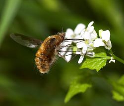 A photograph of an adult Bee-fly _Bombylius major_