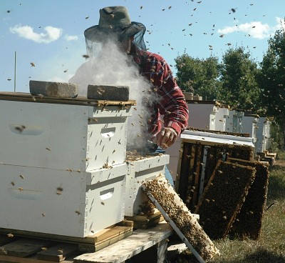 A beekeeper wearing a protective veil inspects hives  in an apiary.  The wooden frames supporting the honecombs can also be seen.