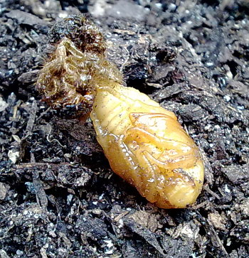 A photograph of the pupae of the Rose chafer (_Cetonia aurata_).