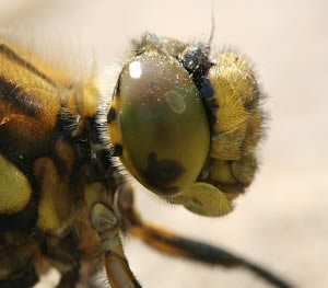 A photograph of the head of a Black Tailed Skimmer Dragonfly (_Orthetrum cancellatum_) showing the large compound eye.