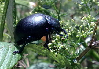 Side profile of the Bloody nosed beetle (Timarcha tenebricosa). When threatened Bloody nosed beetles exude a noxious red liquid through a process called reflex bleeding, this is how they get their name.