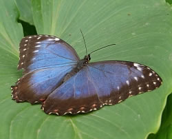 A photograph of a Blue Morpho butterfly (_Morpho sp._).