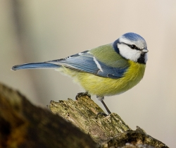 Photograph of a blue tit (_Parus caeruleus_) - blue tits rely on insects to feed their young and an average brood may eat more than 100,00 insects before they fledge.
