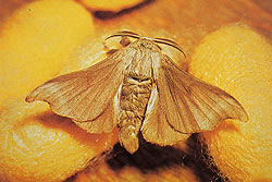A photograph of a male silkworm moth (_Bombyx mori_) and two cocoons