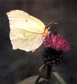 A photograph of the Brimstone Butterfly (_Gonepteryx rhamni_) - the emblem of the Amateur Entomologists' Society