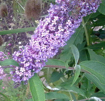 A photograph of Buddleia flowers.