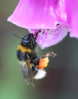 A photograph of a bumblebee with full pollen baskets about to enter a Foxglove flower