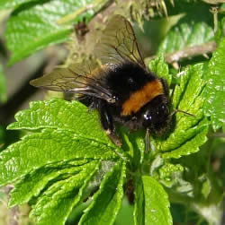 A photograph of a bumblebee, but what species is it?