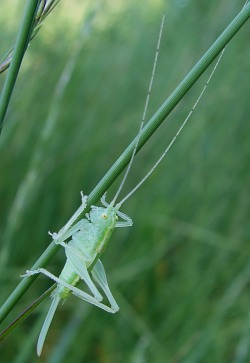 A photograph of a bush-cricket illustrating the ovipositor