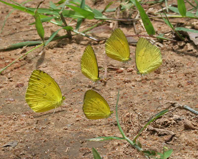 A photograph of butterflies puddling.