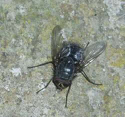 A photograph of the bluebottle _Calliphora vicina_.