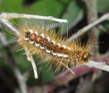 Brown-tail Moth caterpillar _Euproctis chrysorrhoea_