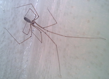 A photograph of the cellar spider (_Pholcus phalangoides_).