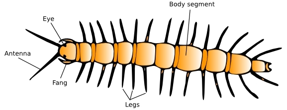 An illustration of the general structure of a centipede.