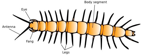 introduction to centipedes amateur entomologists society aes rh amentsoc org Grasshopper Diagram Grasshopper Diagram