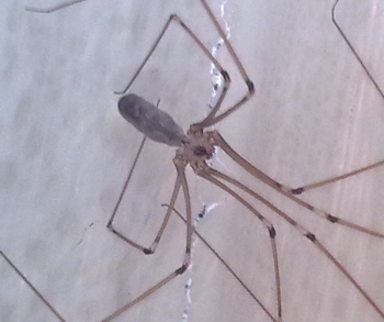 A photograph of a cellar spider. The cephalothorax is the part of the body to which the legs are attached.