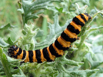 A photograph of the caterpillar of the Cinnabar moth demonstrating the orange and black aposematic colouration.