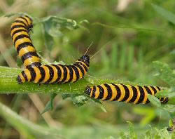 A photograph of cinnabar moth caterpillars.