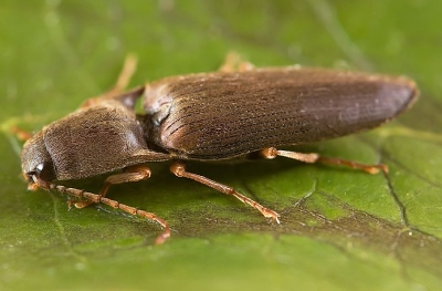 A photograph of an adult Click beetle