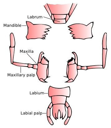Hypopharynx Grasshopper Mouth Diagram Labeled - Circuit Connection ...