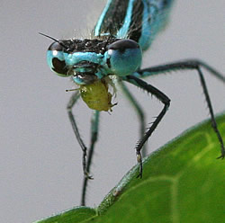 A photograph of an adult damselfly eating an aphid