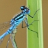 Insect fact files - photograph of a damselfly