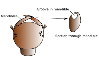 Illustration of mouthparts of Diving beetle larvae
