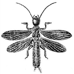 An illustration of a male _Embia major_.