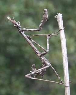 A photograph of the Praying mantis _Empusa egena_ (previously _Empusa pennata_)