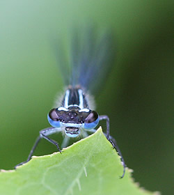 A photograph of a male Common Blue Damselfly (_Enallagma cyathigerum_).