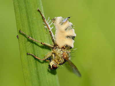 A photograph of an adult Yellow dung fly (_Scathophaga stercoraria_) infested with the fungal pathogen _Entomophthora muscae_. The fungus has been recognised as a potential biological control agent.