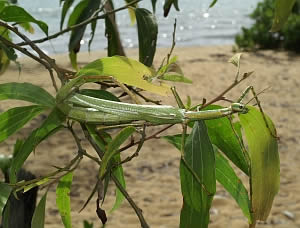 The stick insect _Eurycnema goliath_ from Australia