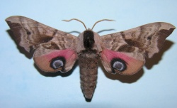 A photograph of the Eyed Hawkmoth (Smerinthus ocellata) showing the bright eyespots on the hindwings