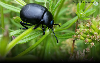 A photograph of a bloody nosed beetle (Timarcha tenebricosa)